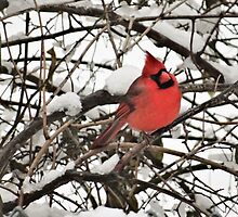 Northern Cardinal in snow on the Concord River by riverlady