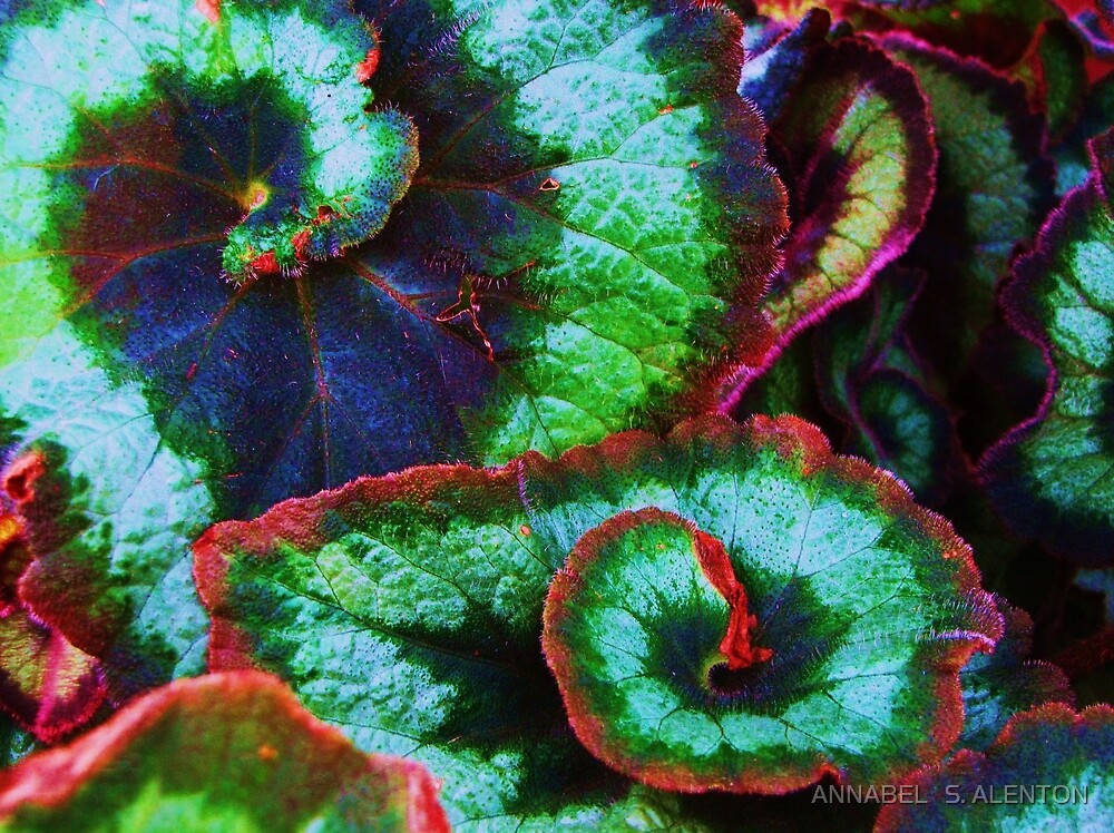 begonia leaves by ANNABEL   S. ALENTON
