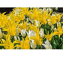Rays of Spring Tulips Photographic Print