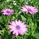 Pink Daisies of Summer by taiche