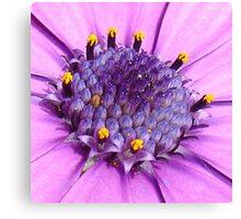 African Daisy or Osteospermum Tropical Flower Canvas Print