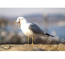 A Self-assured Gull  Photographic Print