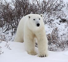 Polar Bear Coming out of the Arctic Willow by Carole-Anne