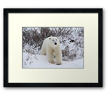 Polar Bear Coming out of the Arctic Willow Framed Print