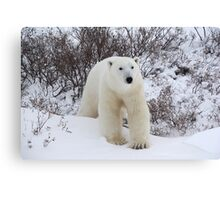 Polar Bear Coming out of the Arctic Willow Canvas Print