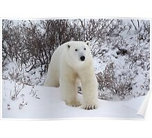 Polar Bear Coming out of the Arctic Willow Poster