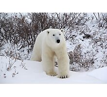 Polar Bear Coming out of the Arctic Willow Photographic Print