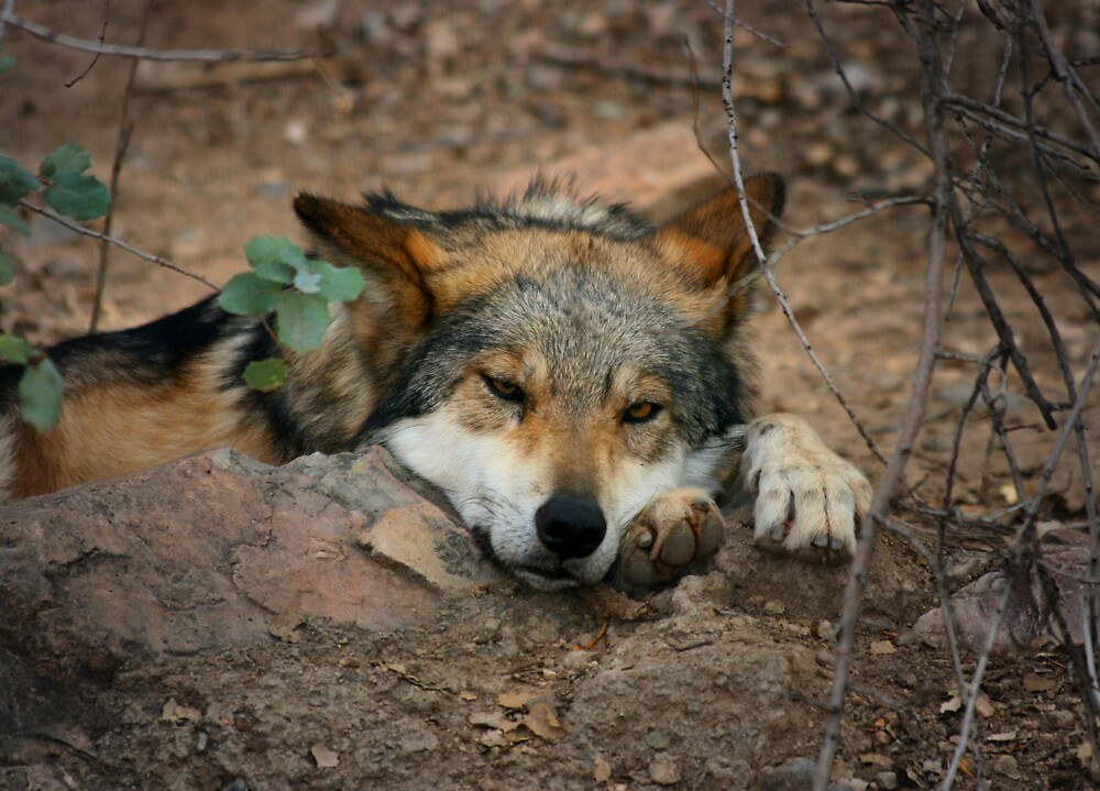 Lazy Wolf by Ashley Stevens
