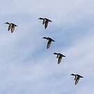 Ring-necked Ducks In Flight by Thomas Young