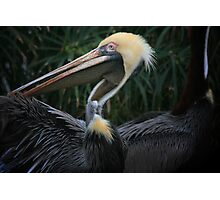 Pelican Wingspan Photographic Print