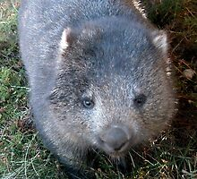 Curious Wombat, Cradle Mountain, Tasmania, Australia. by kaysharp