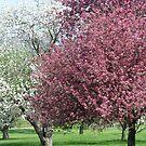 Trees In Bloom by Linda Miller Gesualdo