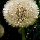 Dandelion by RuthBaker