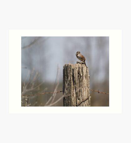 A Song Sparrow Art Print