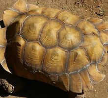Tortoise by Laurie Puglia