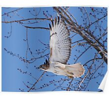 In a hurry......Red Tail on the move. Poster