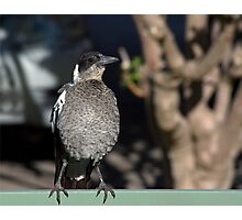 Young Australian Magpie 2 Photographic Print