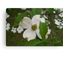 Flowering Dogwood Tree Canvas Print
