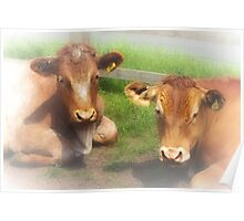 Cattle Companionship Poster