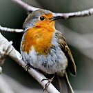 The Robin by Selina Ryles