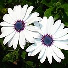A Pair of White African Daisies by taiche