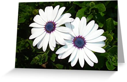 African Daisies in White by taiche