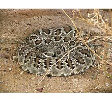Mohave Rattler ~ Deadly Patience Photographic Print