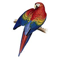 Illustration of A Scarlet Macaw Isolated On White Photographic Print