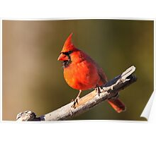 Colorful Cardinal. Poster