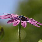 Macro Shot Of A Purple Osteospermum  by taiche