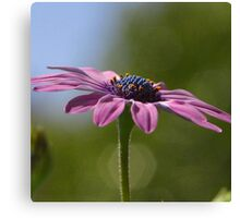 Macro Shot Of A Purple Osteospermum  Canvas Print