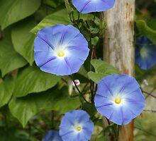 Blue Ipomoea by Matt Emrich