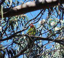 Coit Tower's wild parrots by Lenny La Rue, IPA