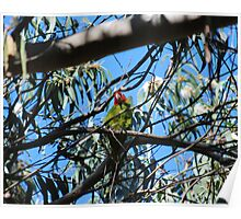 Coit Tower's wild parrots Poster