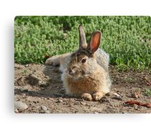 Laid Back Bunny Canvas Print