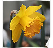 Lent Lily - King Alfred Daffodil Poster