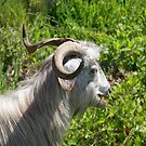 Side View of A Billy Goat Grazing by taiche