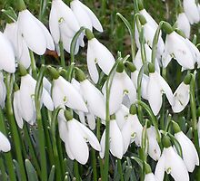 SNOWDROPS by pjmurphy