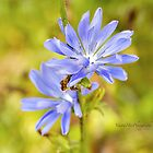 Blue Chickory by Yannik Hay