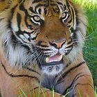 Sumartran Tiger by RHarbron