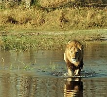 Lion crossing river by GrahamCSmith