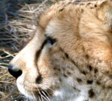 Cheetah portrait, up close and personal Sticker