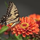 Swallow Tail  by LarryB007