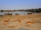 Elephants and Impala, Botswana by GrahamCSmith
