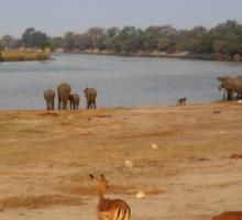 Elephants and Impala, Botswana Sticker