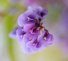 Purple Coral Pea by Jacky Parker