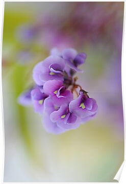 Purple Coral Pea by Jacky Parker