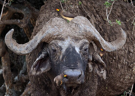 AFRICAN BUFFALO WITH OXPECKERS - KENYA by Michael Sheridan