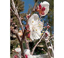 Apricot flowers Photographic Print