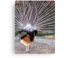 Peacock From Behind Canvas Print